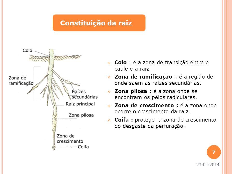 Colo : é a zona de transição entre o caule e a raiz. Zona de ramificação : é a região de onde saem as raízes secundárias. Zona pilosa : é a zona onde