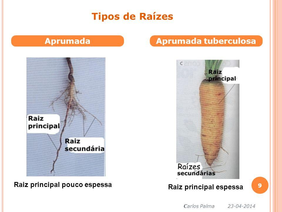 AprumadaAprumada tuberculosa Tipos de Raízes Raiz principal pouco espessa Raiz principal espessa Carlos Palma 23-04-2014 9