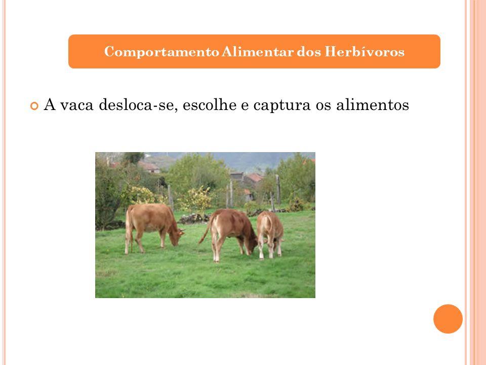 Comportamento Alimentar dos Herbívoros A vaca desloca-se, escolhe e captura os alimentos