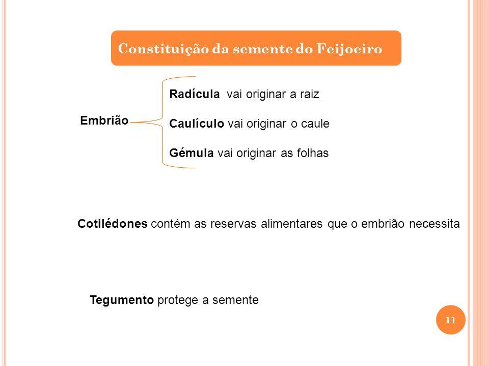 Constituição da semente do Feijoeiro Embrião Radícula vai originar a raiz Caulículo vai originar o caule Gémula vai originar as folhas Cotilédones con