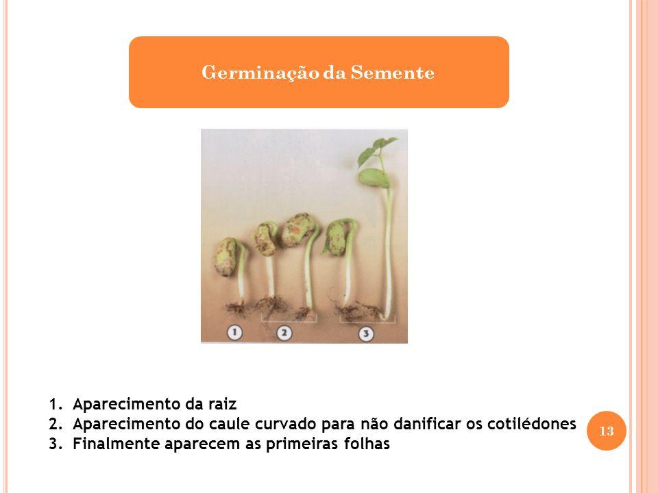 Germinação da Semente 1.Aparecimento da raiz 2.Aparecimento do caule curvado para não danificar os cotilédones 3.Finalmente aparecem as primeiras folh