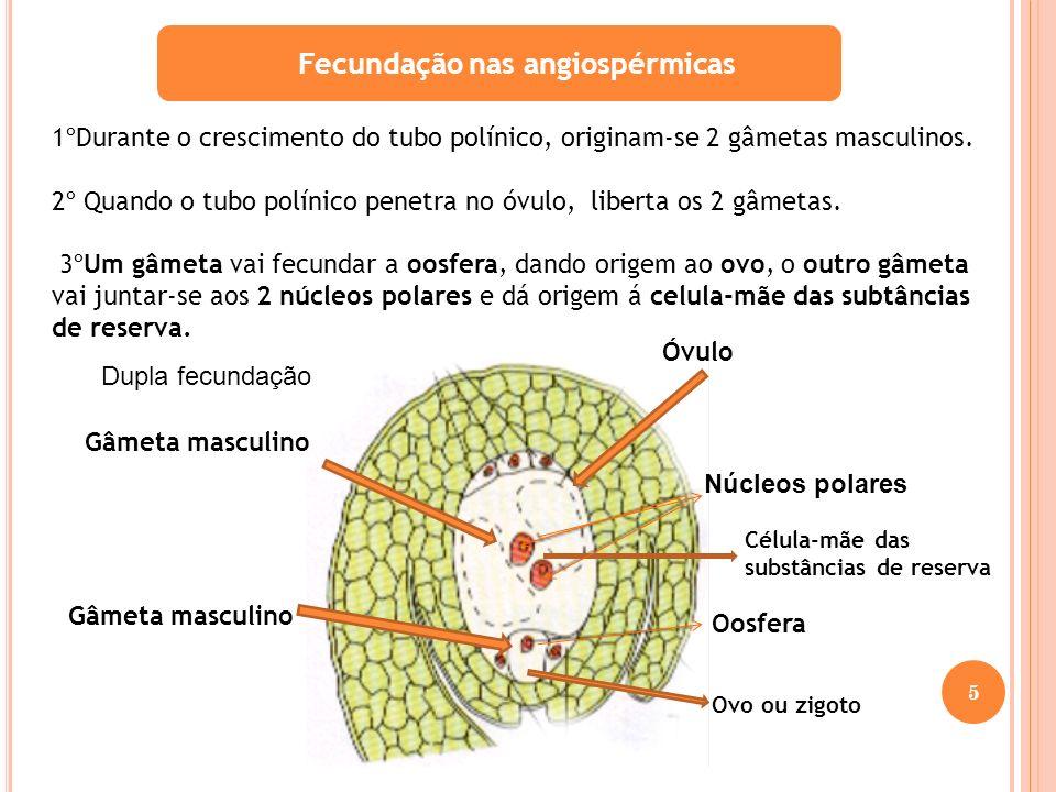 Fecundação nas angiospérmicas 1ºDurante o crescimento do tubo polínico, originam-se 2 gâmetas masculinos. 2º Quando o tubo polínico penetra no óvulo,