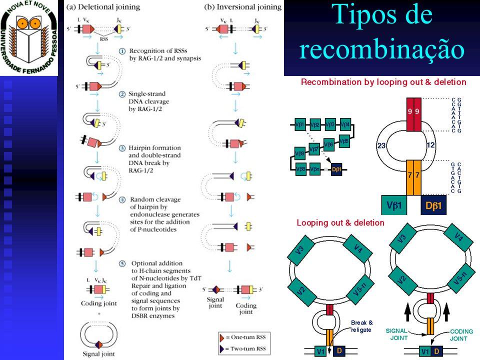 Imunologia 2002/2003Prof. Doutor José Cabeda Tipos de recombinação