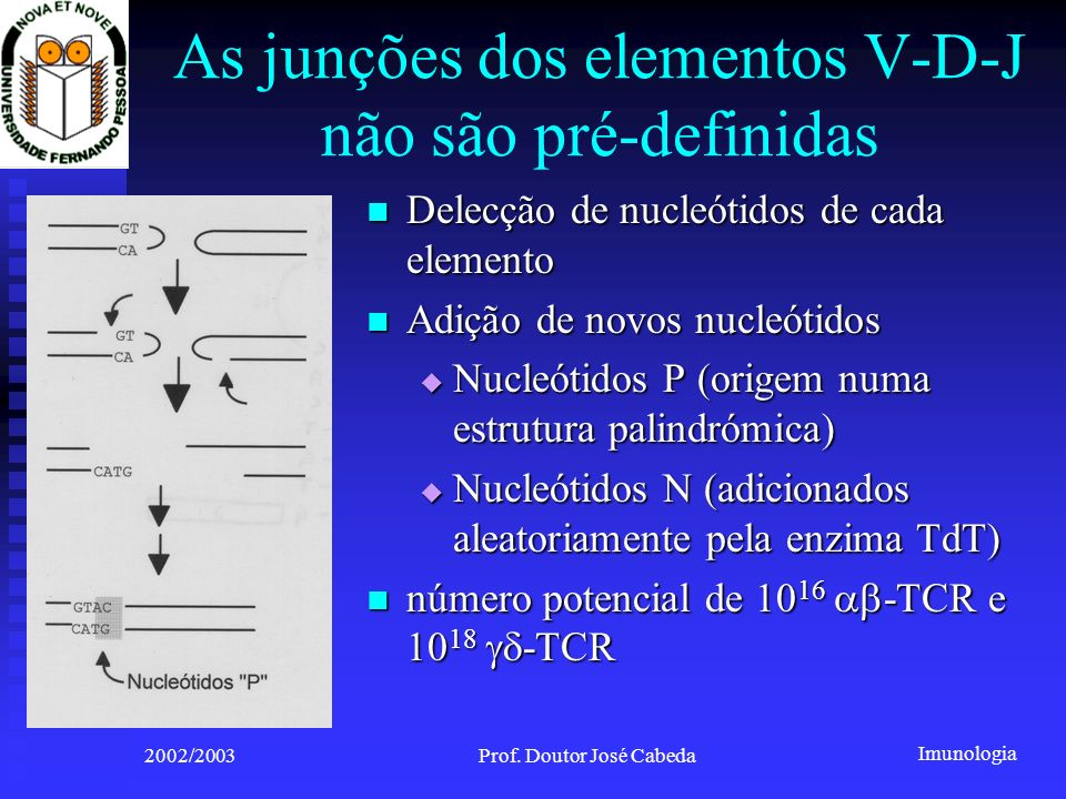 Imunologia 2002/2003Prof. Doutor José Cabeda As junções dos elementos V-D-J não são pré-definidas Delecção de nucleótidos de cada elemento Delecção de