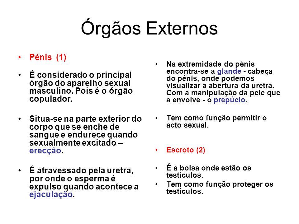 Órgãos Externos Pénis (1) É considerado o principal órgão do aparelho sexual masculino. Pois é o órgão copulador. Situa-se na parte exterior do corpo