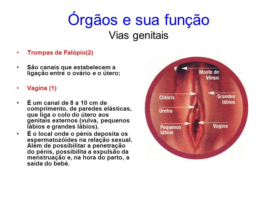 Órgãos e sua função Vias genitais Trompas de Falópio(2) São canais que estabelecem a ligação entre o ovário e o útero; Vagina (1) É um canal de 8 a 10