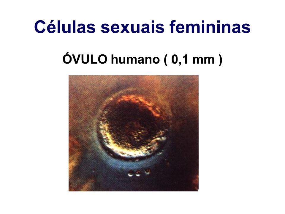 Células sexuais femininas ÓVULO humano ( 0,1 mm )