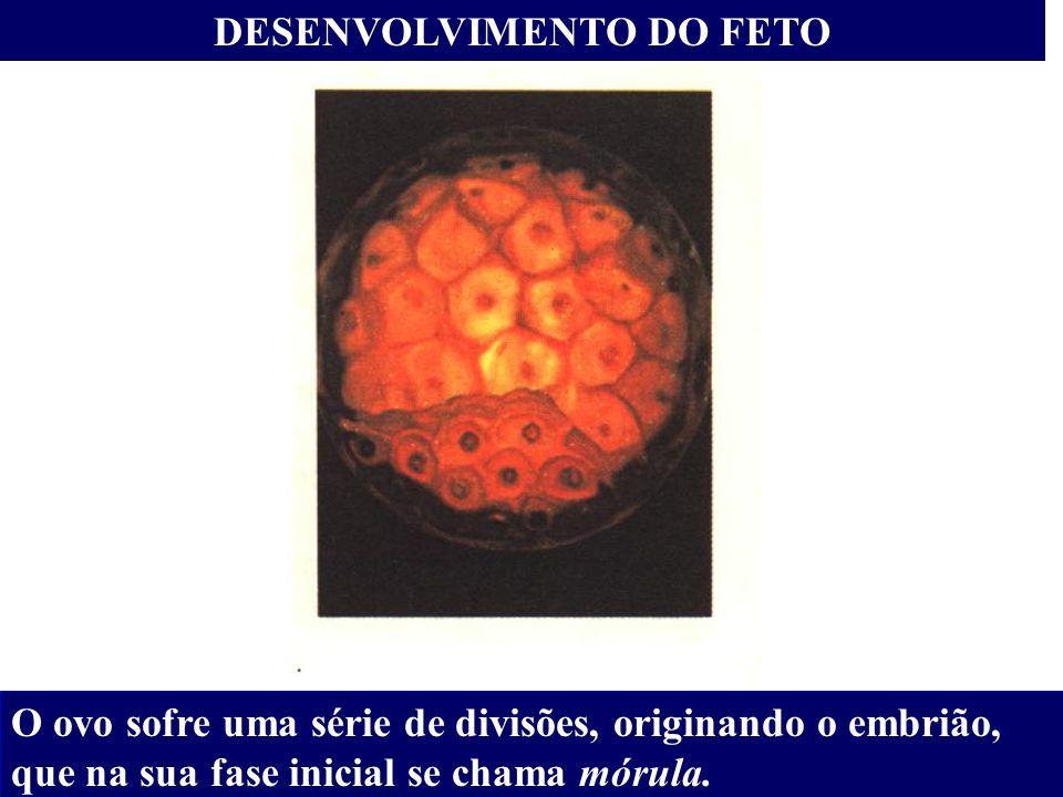 DESENVOLVIMENTO DO FETO O ovo sofre uma série de divisões, originando o embrião, que na sua fase inicial se chama mórula.