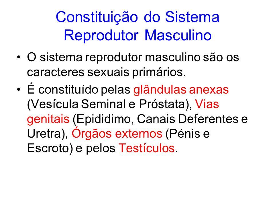 Constituição do Sistema Reprodutor Masculino O sistema reprodutor masculino são os caracteres sexuais primários. É constituído pelas glândulas anexas
