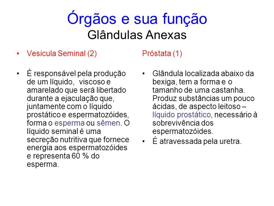 Órgãos e sua função Glândulas Anexas Vesicula Seminal (2) É responsável pela produção de um líquido, viscoso e amarelado que será libertado durante a