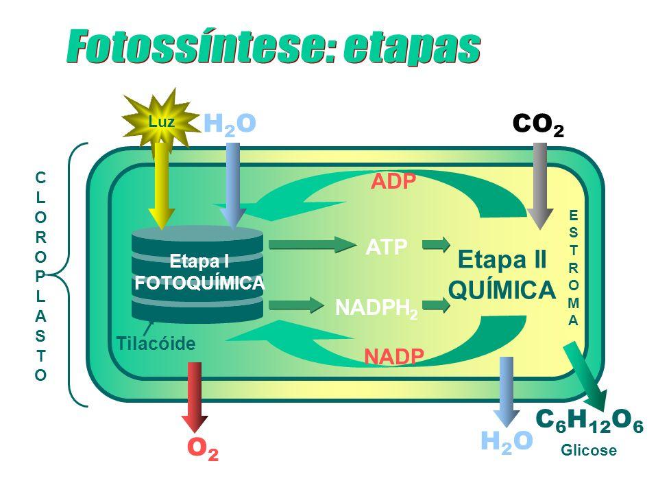 CLOROPLASTOCLOROPLASTO Tilacóide Etapa II QUÍMICA Etapa I FOTOQUÍMICA Luz H2OH2O CO 2 ADP NADP H2OH2O C 6 H 12 O 6 ATP NADPH 2 O2O2 ESTROMAESTROMA Gli