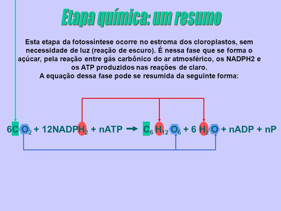 6C O 2 + 12NADPH 2 + nATP C 6 H 12 O 6 + 6 H 2 O + nADP + nP Esta etapa da fotossíntese ocorre no estroma dos cloroplastos, sem necessidade de luz (re