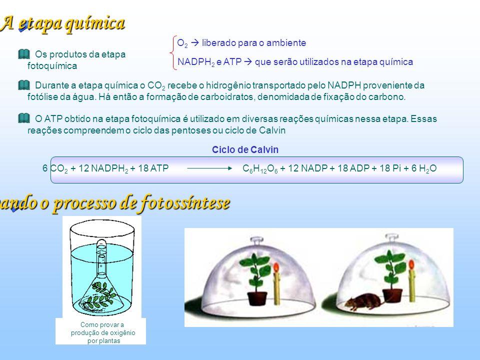 Comprovando o processo de fotossíntese Como provar a produção de oxigênio por plantas A etapa química Os produtos da etapa fotoquímica O 2 liberado para o ambiente NADPH 2 e ATP que serão utilizados na etapa química Durante a etapa química o CO 2 recebe o hidrogênio transportado pelo NADPH proveniente da fotólise da água.
