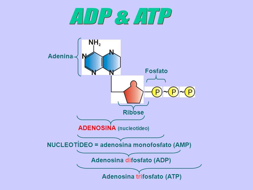 ADENOSINA (nucleotídeo) NUCLEOTÍDEO = adenosina monofosfato (AMP)Adenosina difosfato (ADP) Adenosina trifosfato (ATP) Adenina Fosfato Ribose