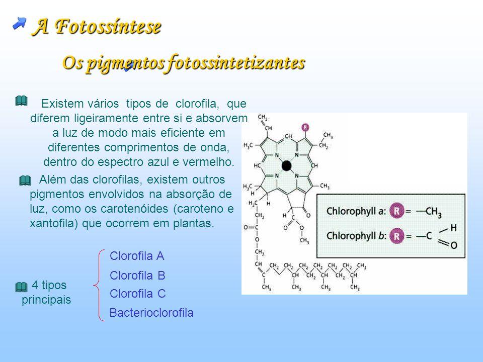 A Fotossíntese Os pigmentos fotossintetizantes Existem vários tipos de clorofila, que diferem ligeiramente entre si e absorvem a luz de modo mais eficiente em diferentes comprimentos de onda, dentro do espectro azul e vermelho.