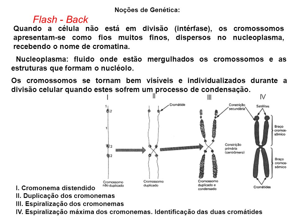 Noções de Genética: I. Cromonema distendido II. Duplicação dos cromonemas III. Espiralização dos cromonemas IV. Espiralização máxima dos cromonemas. I
