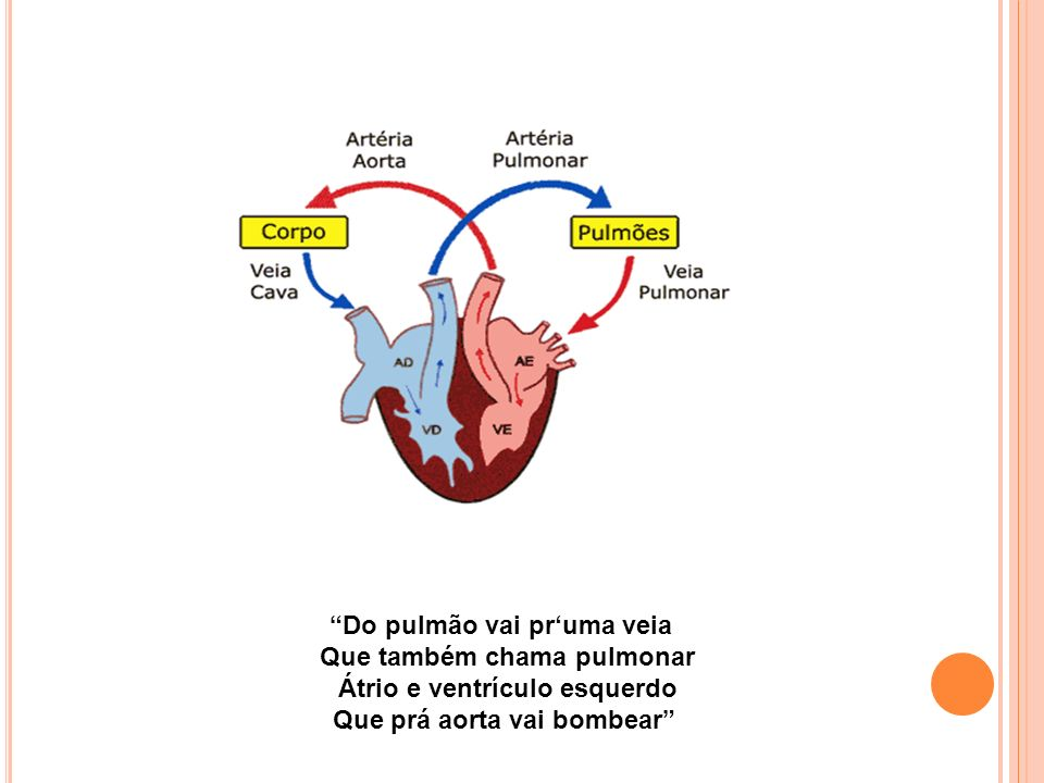 Do pulmão vai pruma veia Que também chama pulmonar Átrio e ventrículo esquerdo Que prá aorta vai bombear