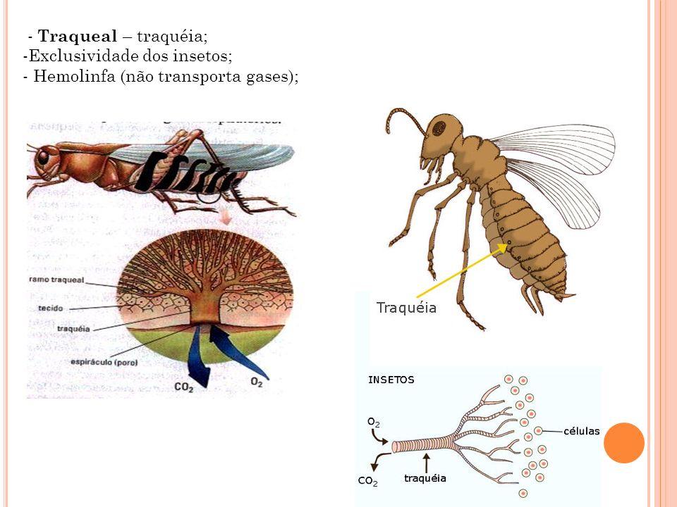 - Traqueal – traquéia; -Exclusividade dos insetos; - Hemolinfa (não transporta gases);