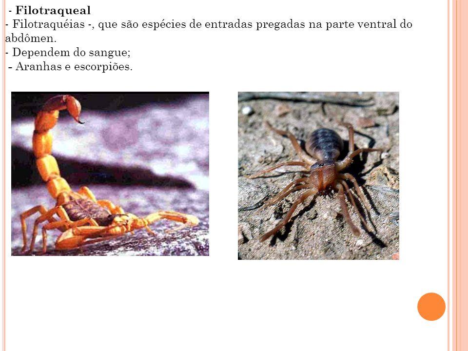 - Filotraqueal - Filotraquéias -, que são espécies de entradas pregadas na parte ventral do abdômen. - Dependem do sangue; - Aranhas e escorpiões.