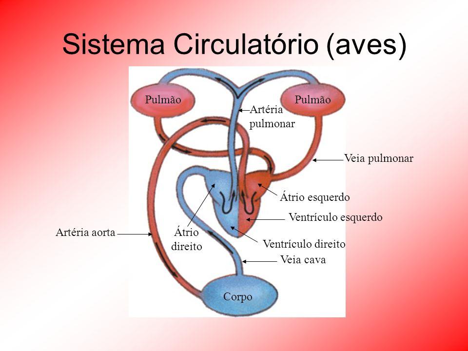 Sistema Circulatório (aves) Corpo Pulmão Artéria pulmonar Veia pulmonar Ventrículo esquerdo Artéria aorta Veia cava Átrio esquerdo Ventrículo direito