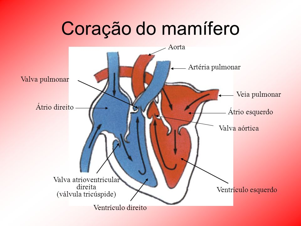 Coração do mamífero Átrio direito Valva atrioventricular direita (válvula tricúspide) Ventrículo direito Valva pulmonar Artéria pulmonar Veia pulmonar