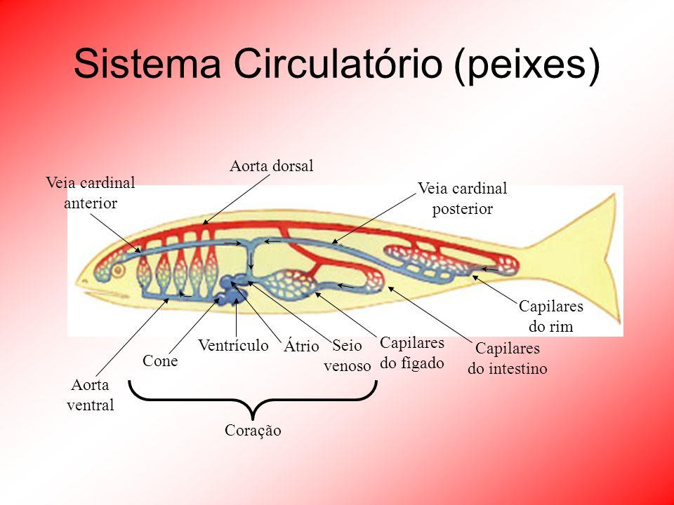 Sistema Circulatório (peixes) Coração Veia cardinal posterior Aorta dorsal Veia cardinal anterior Capilares do rim Capilares do intestino Capilares do