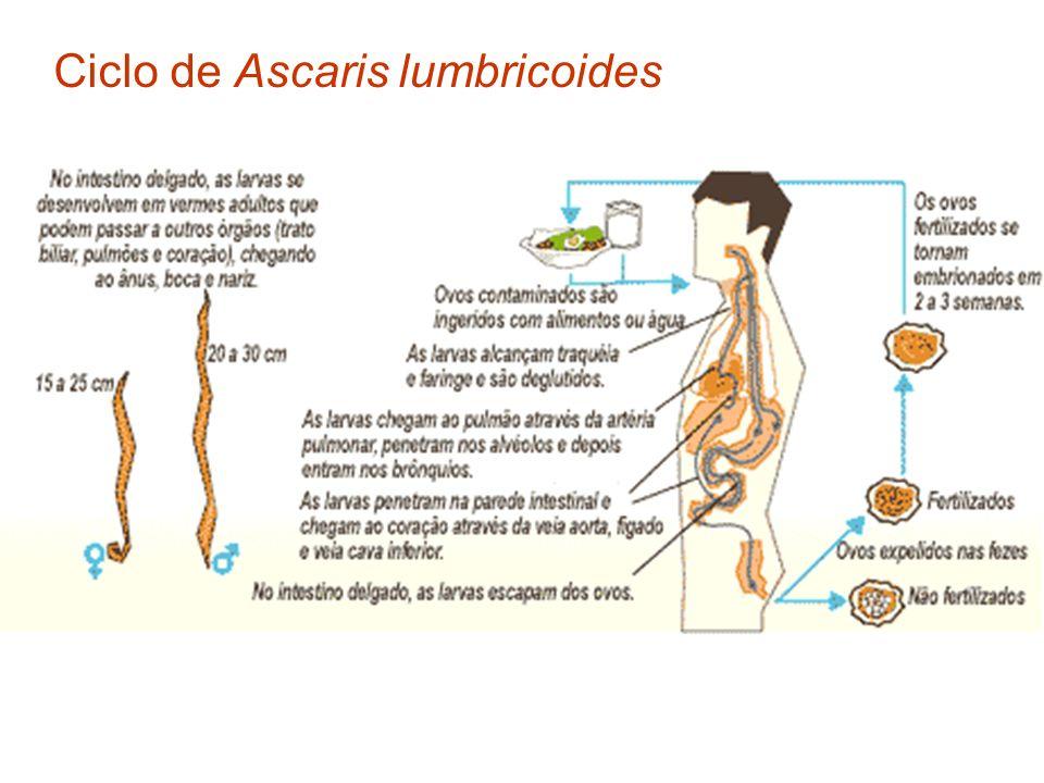 Ciclo de Ascaris lumbricoides