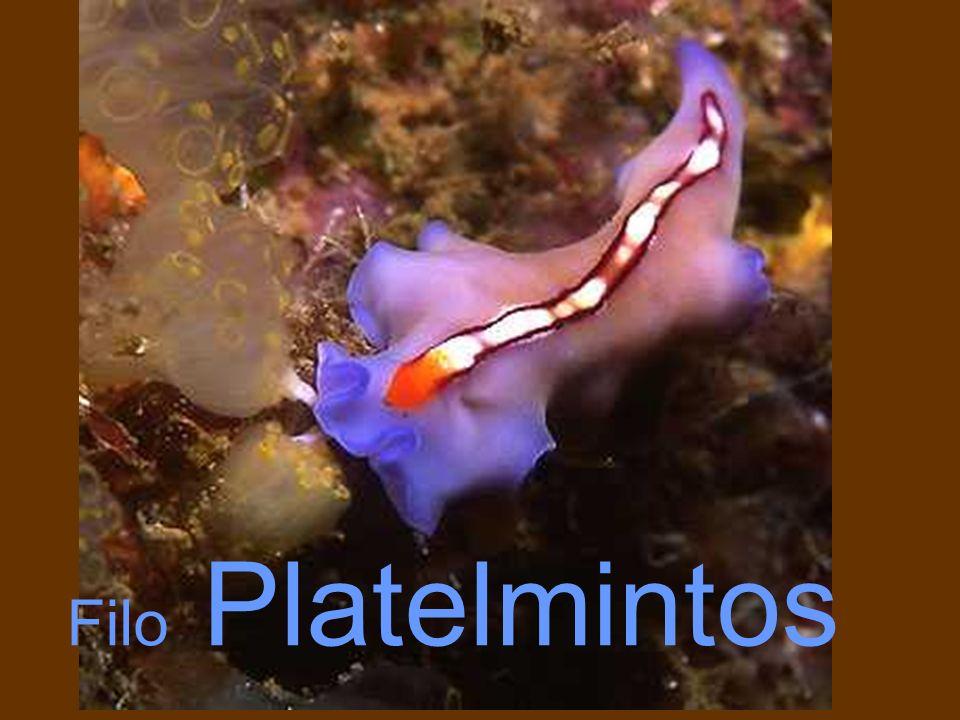 Anatomia de um molusco primitivo TUBO DIGESTIVO BRÂNQUIA CIRCULAÇÃO GÔNADAS
