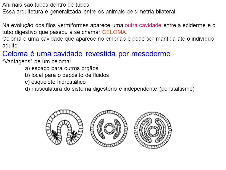 Animais são tubos dentro de tubos. Essa arquitetura é generalizada entre os animais de simetria bilateral. Na evolução dos filos vermiformes aparece u