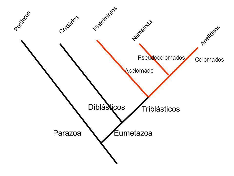 Diblásticos Triblásticos EumetazoaParazoa Poríferos Nematoda Platelmintos Cnidários Pseudocelomados Acelomado Celomados Anelídeos