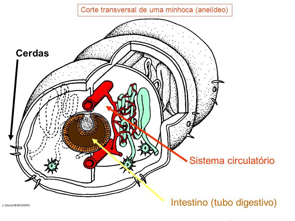 Sistema circulatório Intestino (tubo digestivo) Cerdas Corte transversal de uma minhoca (anelídeo)