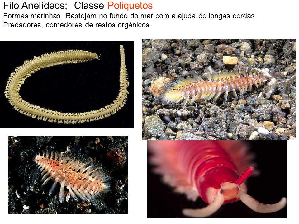 Filo Anelídeos; Classe Poliquetos Formas marinhas. Rastejam no fundo do mar com a ajuda de longas cerdas. Predadores, comedores de restos orgânicos.