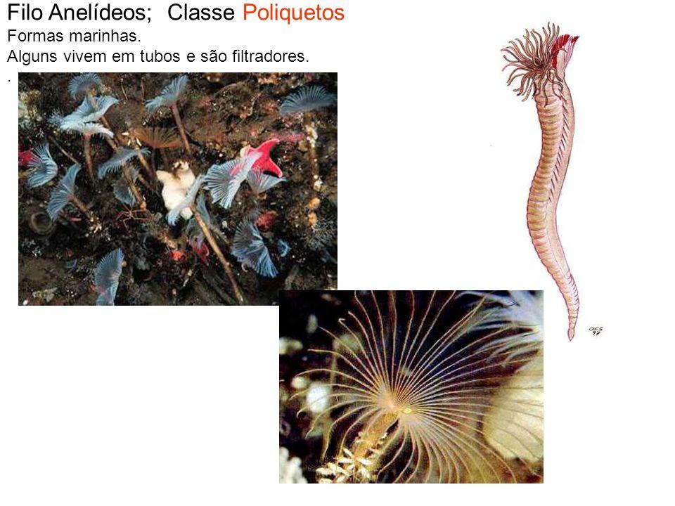 Filo Anelídeos; Classe Poliquetos Formas marinhas. Alguns vivem em tubos e são filtradores..