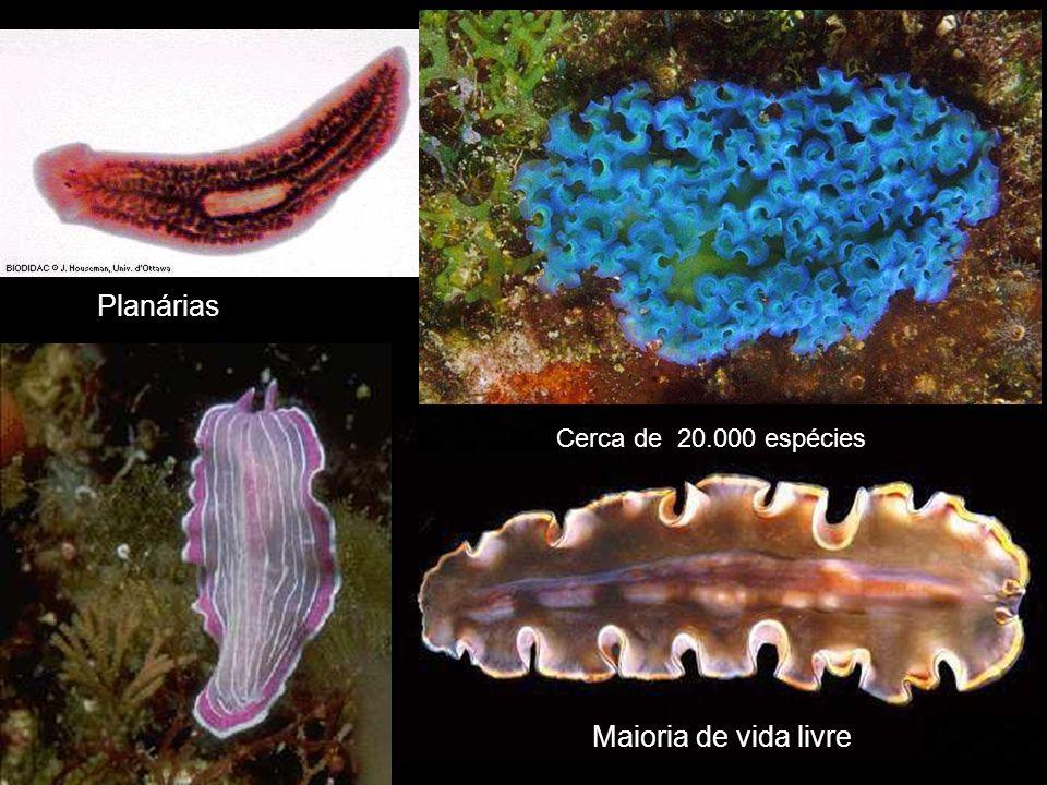 Cerca de 20.000 espécies Maioria de vida livre Planárias
