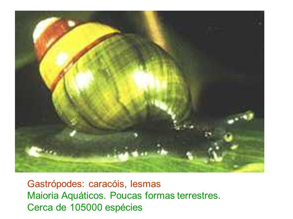 Gastrópodes: caracóis, lesmas Maioria Aquáticos. Poucas formas terrestres. Cerca de 105000 espécies