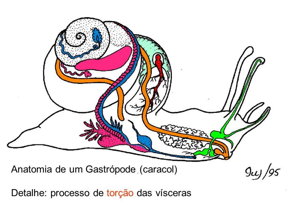 Anatomia de um Gastrópode (caracol) Detalhe: processo de torção das vísceras