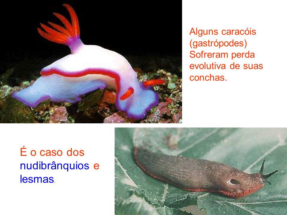 Alguns caracóis (gastrópodes) Sofreram perda evolutiva de suas conchas. É o caso dos nudibrânquios e lesmas.
