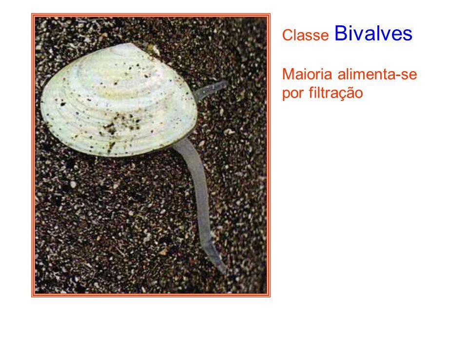 Classe Bivalves Maioria alimenta-se por filtração