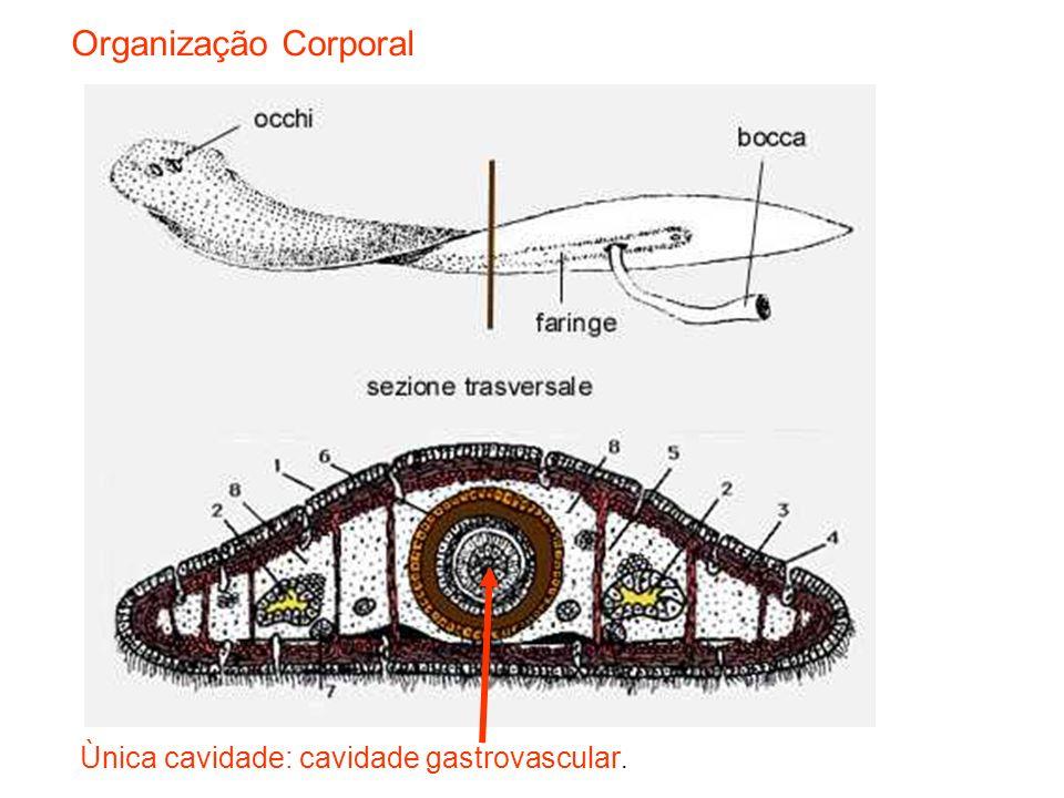 Esquema da anatomia interna de uma planária Cavidade digestiva Sistema nervoso Órgãos sexuais femininos Órgãos sexuais masculinos