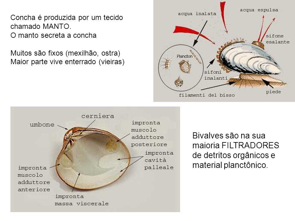 Concha é produzida por um tecido chamado MANTO. O manto secreta a concha Muitos são fixos (mexilhão, ostra) Maior parte vive enterrado (vieiras) Bival