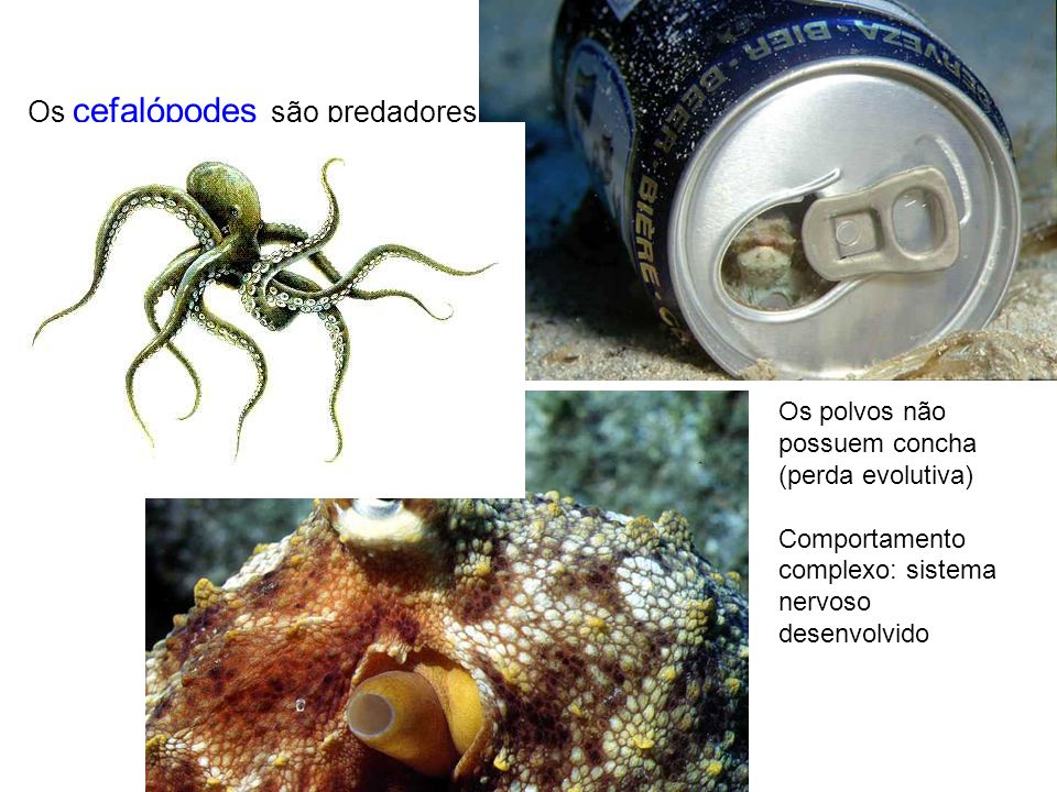 Os cefalópodes são predadores Os polvos não possuem concha (perda evolutiva) Comportamento complexo: sistema nervoso desenvolvido