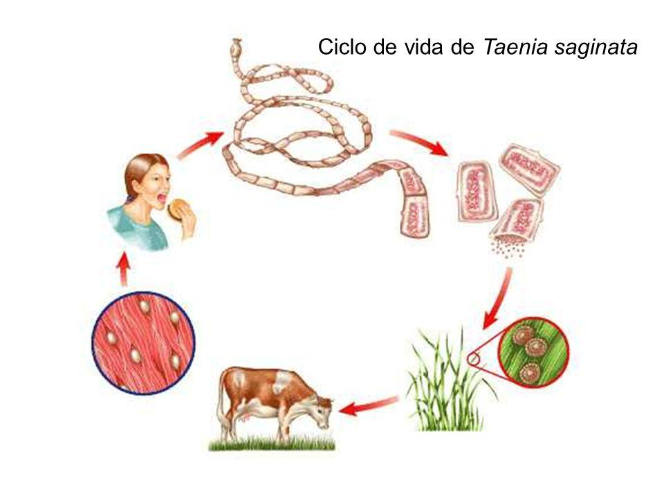 Ciclo de vida de Taenia sp