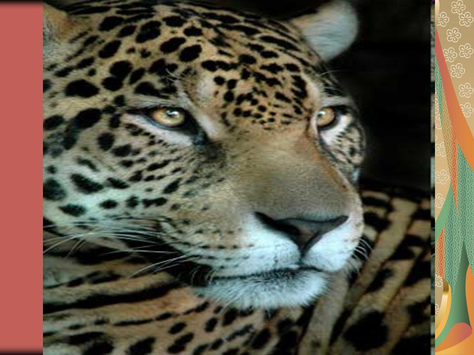 A onça-pintada é o maior felino do continente americano, encontrada principalmente nas regiões ao sul dos Estados Unidos, México, América Central e América do Sul.