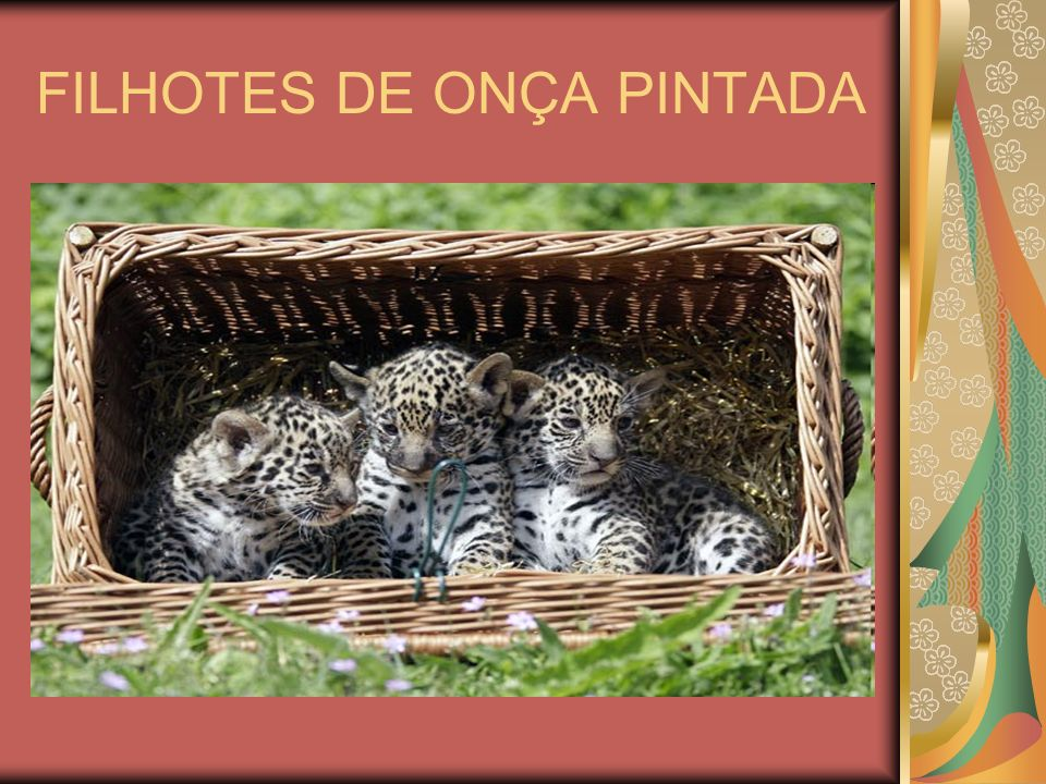 A REPRODUÇÃO DA ONÇA PINTADA A reprodução acontece nos meses de agosto e setembro, quando o macho e a fêmea convivem como casal, chegando a caçar juntos.