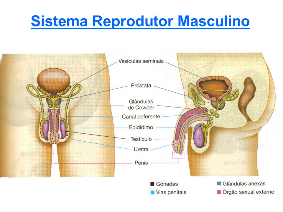 Gónadas São os testículos Produzem as gâmetas masculinas (espermatozóides) Glândulas Anexas Próstada Vesículas Seminais (2) Glândulas de Cowper (2) Vias Genitais São canais por onde passam os gâmetas masculinos Uretra Epidídimo Canal ejaculatório Canal deferente Órgão Sexual Externo Pénis