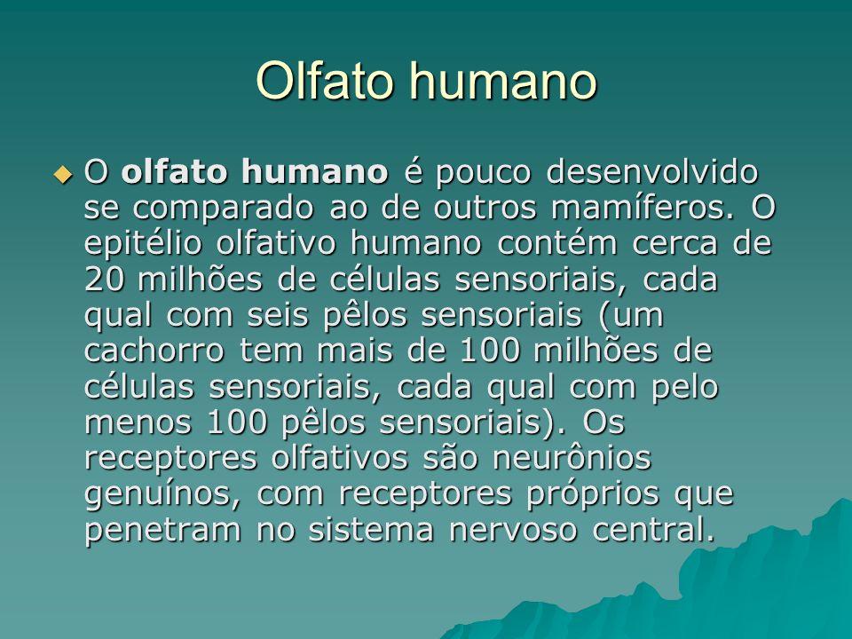 Olfato humano O olfato humano é pouco desenvolvido se comparado ao de outros mamíferos. O epitélio olfativo humano contém cerca de 20 milhões de célul