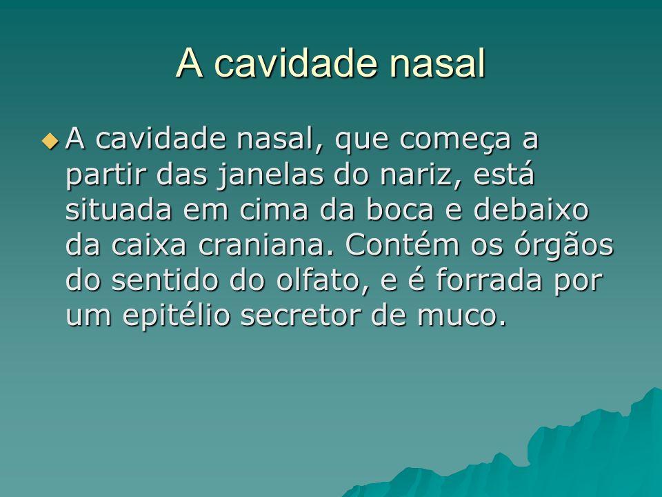 A cavidade nasal A cavidade nasal, que começa a partir das janelas do nariz, está situada em cima da boca e debaixo da caixa craniana. Contém os órgão