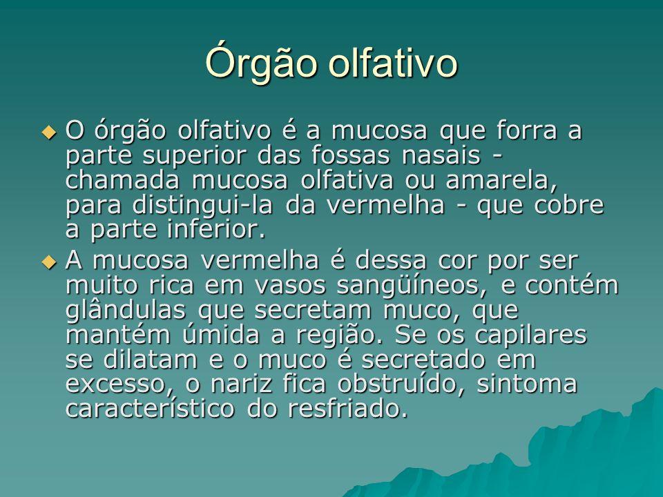 Órgão olfativo O órgão olfativo é a mucosa que forra a parte superior das fossas nasais - chamada mucosa olfativa ou amarela, para distingui-la da ver