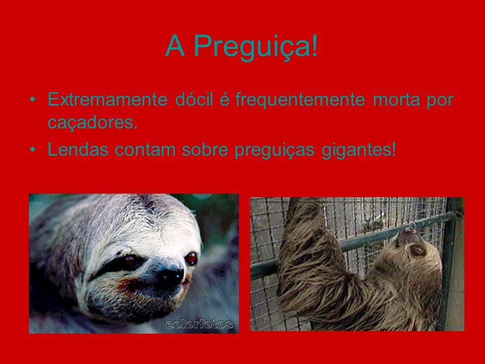 A Preguiça! Extremamente dócil é frequentemente morta por caçadores. Lendas contam sobre preguiças gigantes!