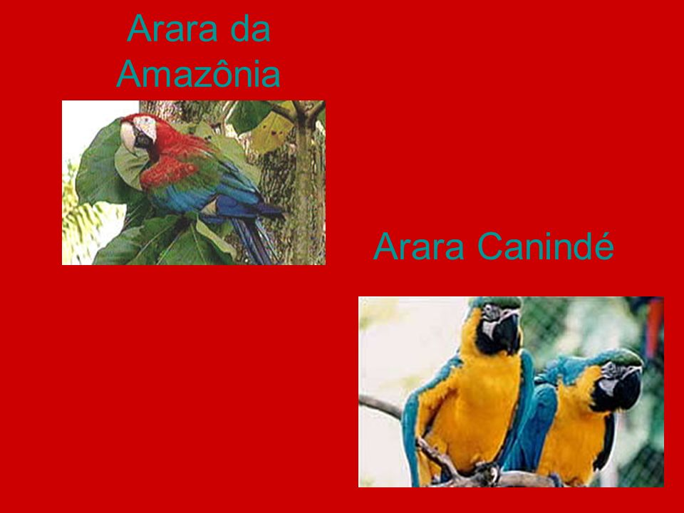 Arara da Amazônia Arara Canindé
